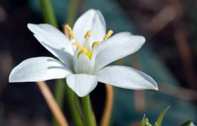 Imagem 177 de Florais de Bach – Star of Bethlehem - Estrela de Belém